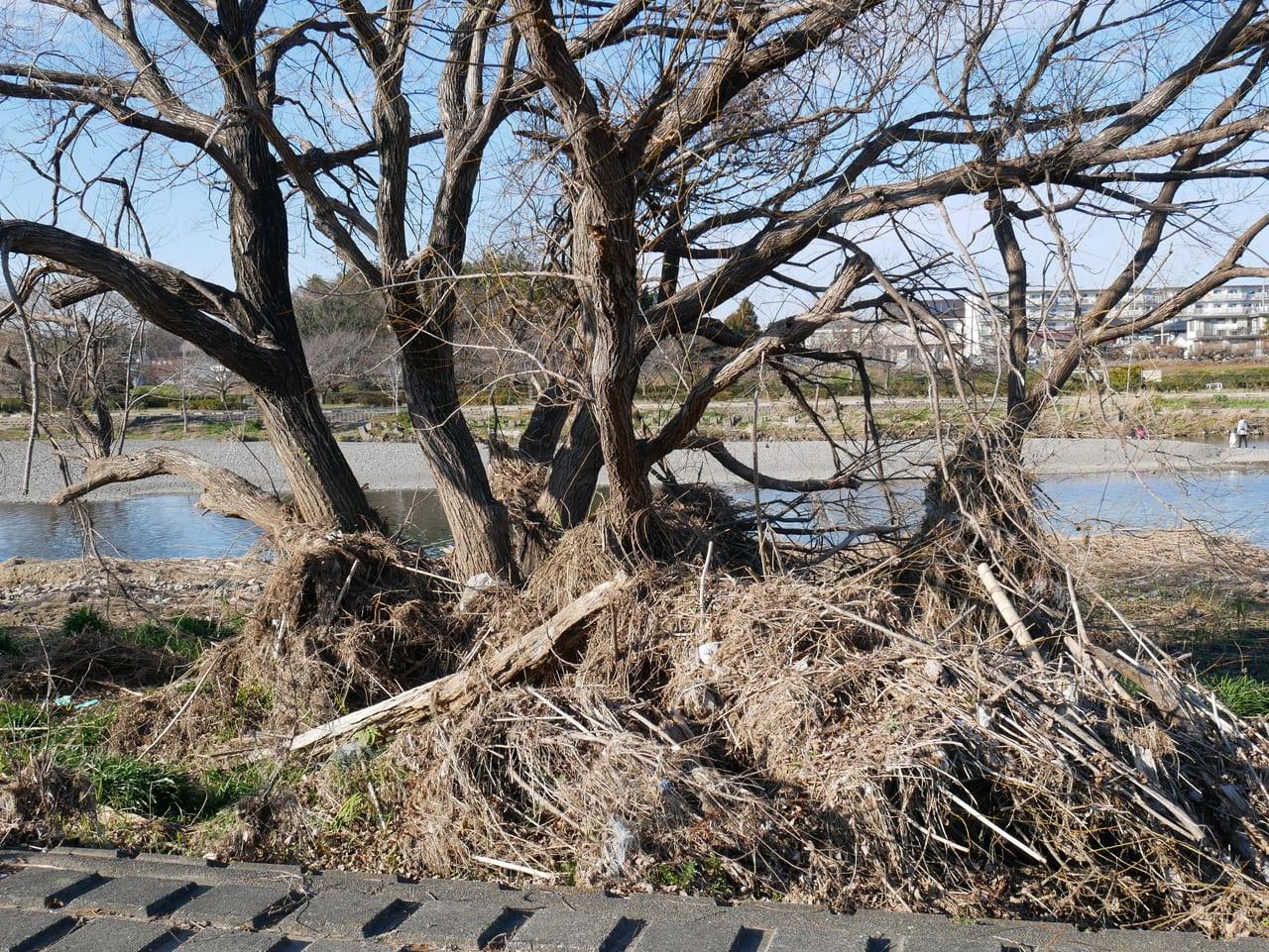 入間川沿いの木